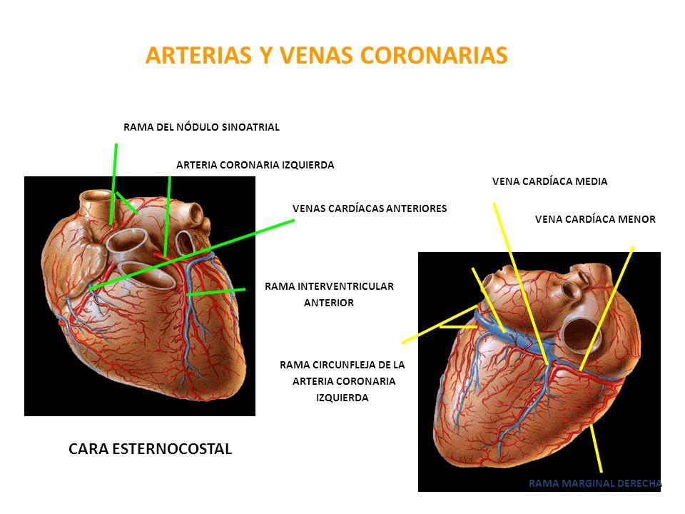 ARTERIAS Y VENAS CORONARIAS CARA ESTERNOCOSTAL RAMA DEL NÓDULO SINOATRIAL ARTERIA CORONARIA IZQUIERDA VENAS CARDÍACAS ANTERIORES DEL VENTRÍCULO DERECH