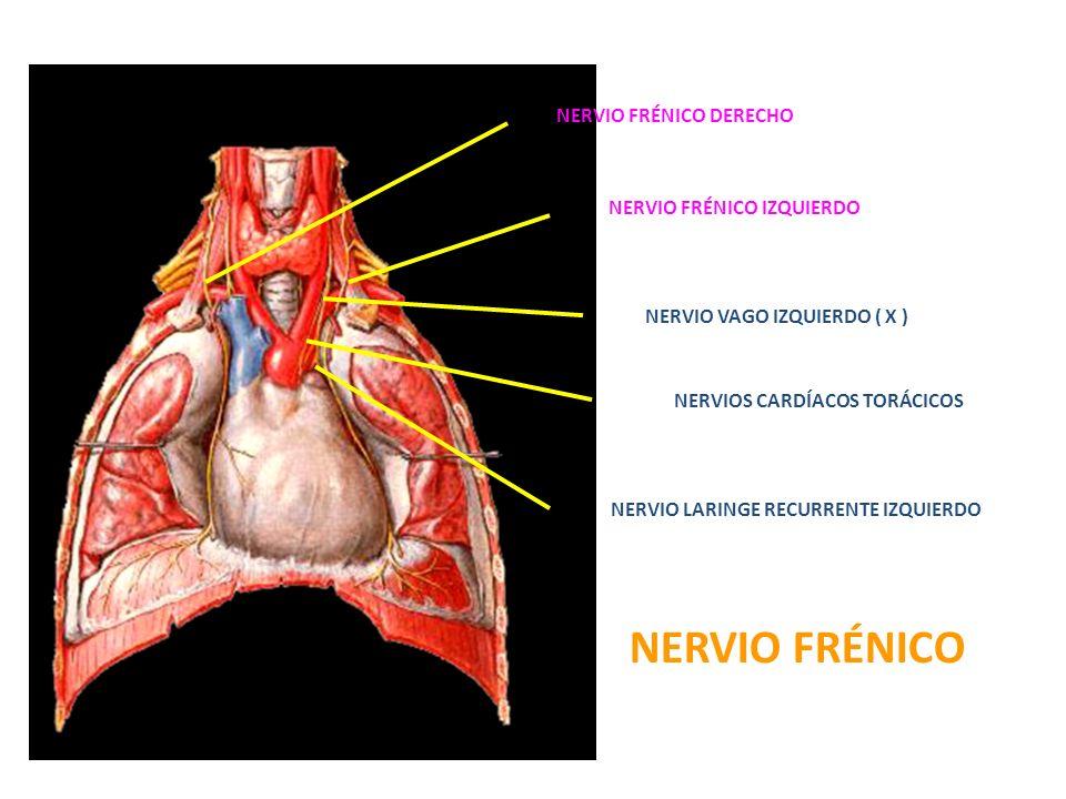 NERVIO FRÉNICO DERECHO NERVIO FRÉNICO IZQUIERDO NERVIO VAGO IZQUIERDO ( X ) NERVIOS CARDÍACOS TORÁCICOS NERVIO LARINGE RECURRENTE IZQUIERDO NERVIO FRÉ