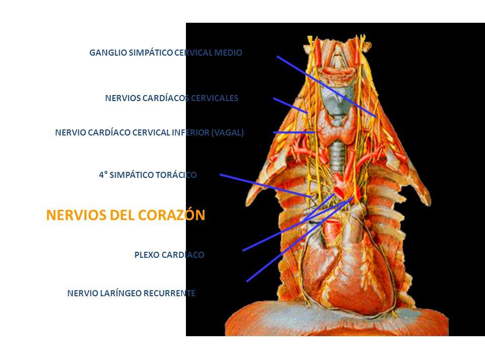 GANGLIO SIMPÁTICO CERVICAL MEDIO NERVIOS CARDÍACOS CERVICALES NERVIO CARDÍACO CERVICAL INFERIOR (VAGAL) 4° SIMPÁTICO TORÁCICO NERVIOS DEL CORAZÓN PLEX