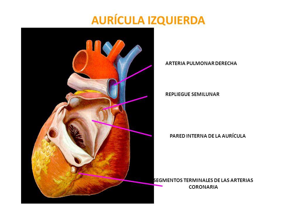 ARTERIA PULMONAR DERECHA REPLIEGUE SEMILUNAR PARED INTERNA DE LA AURÍCULA ( SEPTAL ) SEGMENTOS TERMINALES DE LAS ARTERIAS CORONARIA AURÍCULA IZQUIERDA
