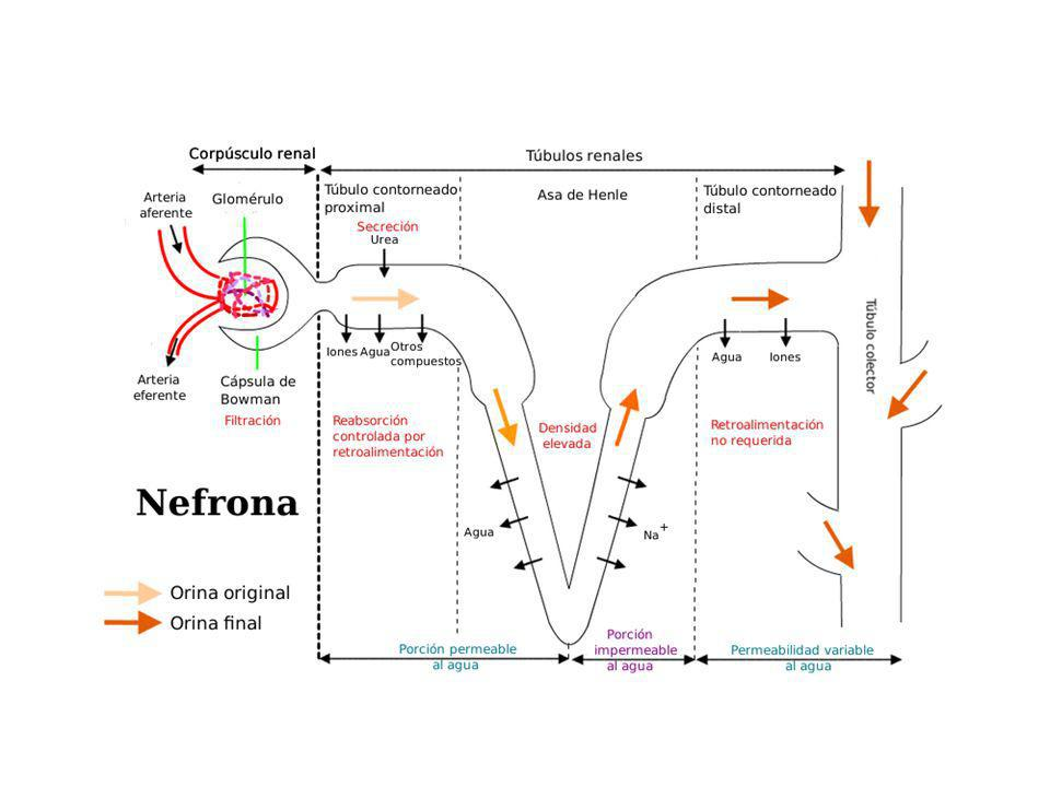 Homeostasia del potasio.Factores que influyen en la excreción renal de potasio.