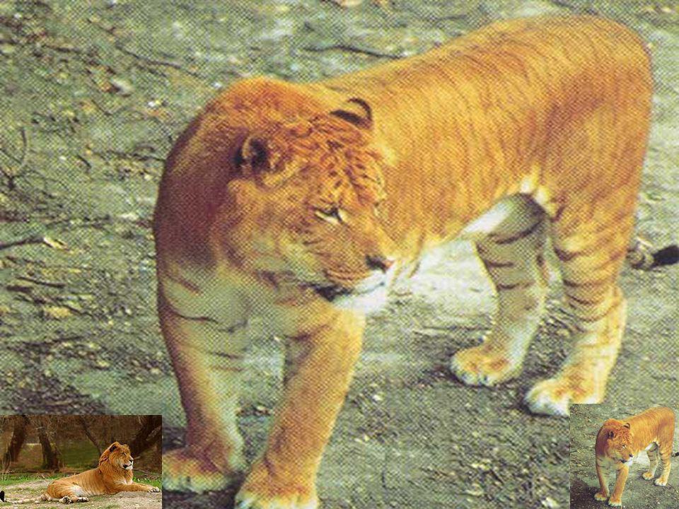 Ejemplos de especiación Ligre (cruce entre león y tigresa). Ligre (cruce entre león y tigresa). Tigrón (cruce entre tigre y leona). Tigrón (cruce entr