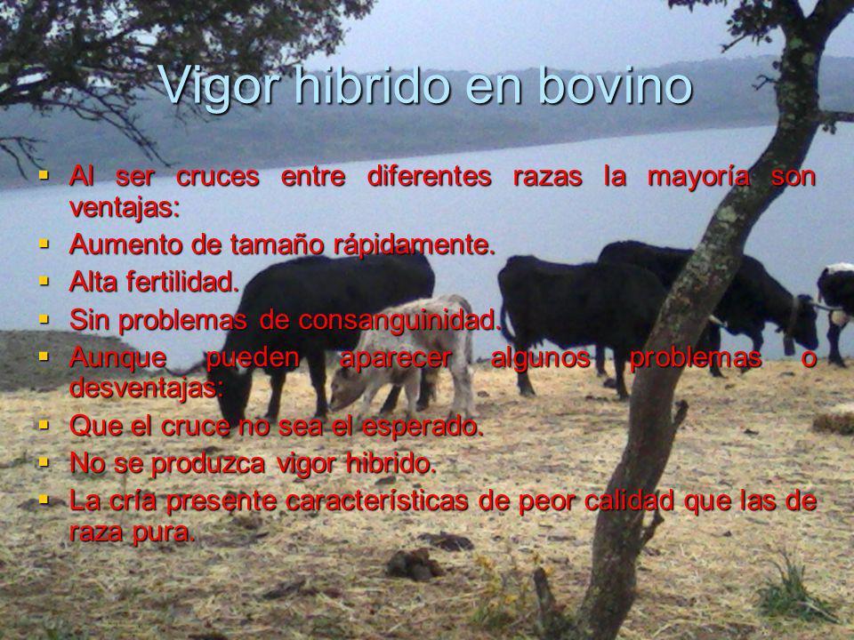 Vigor hibrido en bovino Al ser cruces entre diferentes razas la mayoría son ventajas: Al ser cruces entre diferentes razas la mayoría son ventajas: Au