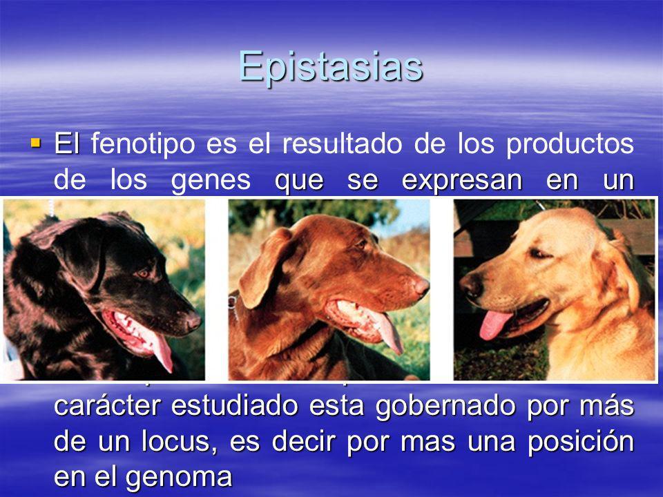 Epistasias El que se expresan en un ambiente dado. El fenotipo es el resultado de los productos de los genes que se expresan en un ambiente dado. La i