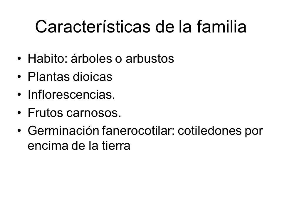 Características de la familia Habito: árboles o arbustos Plantas dioicas Inflorescencias. Frutos carnosos. Germinación fanerocotilar: cotiledones por