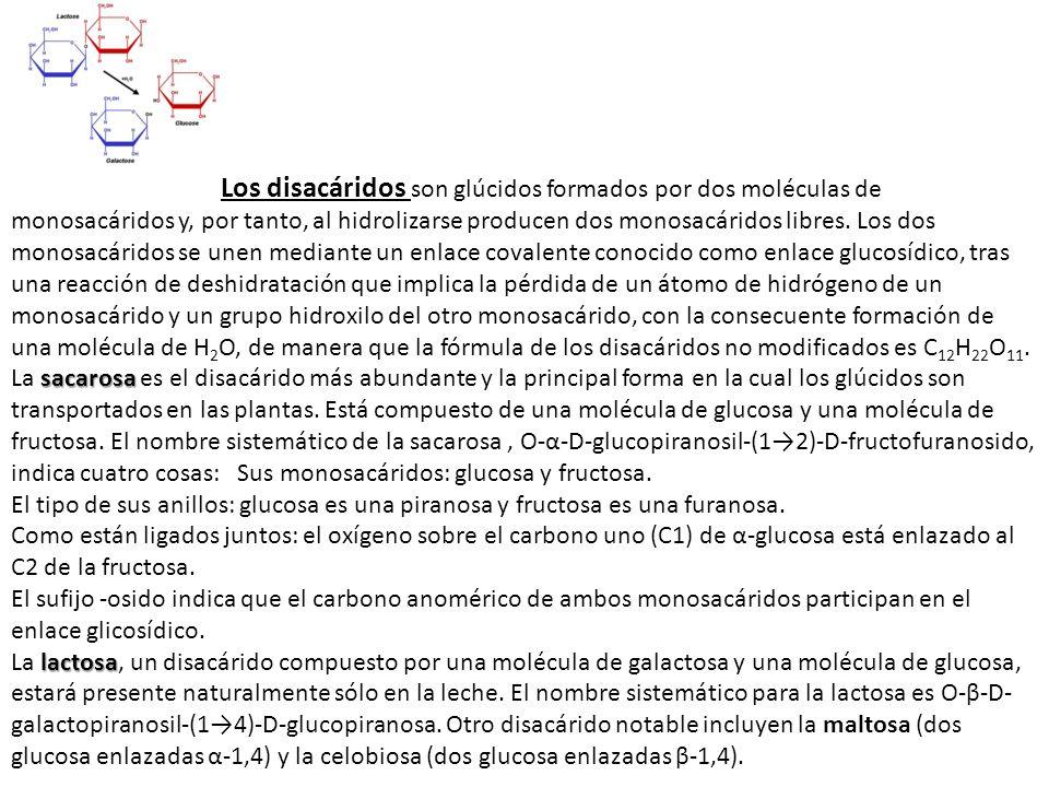 Los disacáridos son glúcidos formados por dos moléculas de monosacáridos y, por tanto, al hidrolizarse producen dos monosacáridos libres. Los dos mono