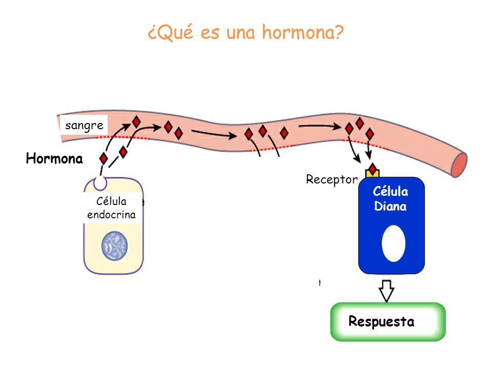 Hormona Célula endocrina Respuesta ¿Qué es una hormona? Receptor sangre Célula Diana
