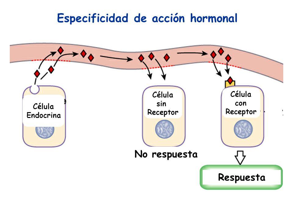 Especificidad de acción hormonal No respuesta Respuesta Célula sin Receptor Célula Endocrina Célula con Receptor