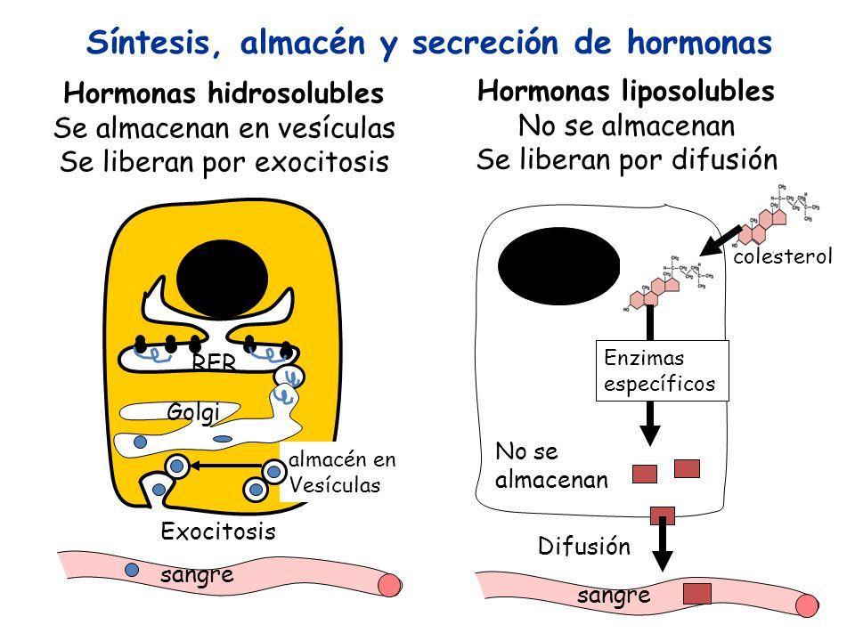 Hormonas hidrosolubles Se almacenan en vesículas Se liberan por exocitosis sangre Síntesis, almacén y secreción de hormonas RER Golgi almacén en Vesíc