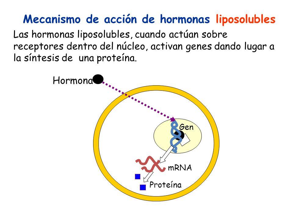 Mecanismo de acción de hormonas liposolubles Las hormonas liposolubles, cuando actúan sobre receptores dentro del núcleo, activan genes dando lugar a