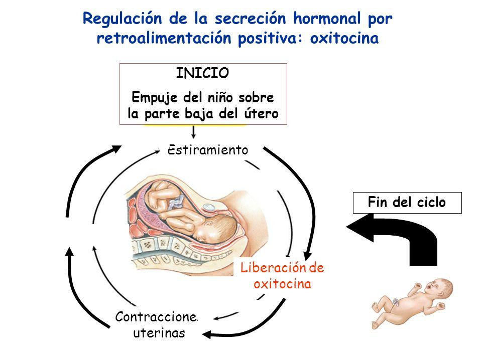 Estiramiento Regulación de la secreción hormonal por retroalimentación positiva: oxitocina INICIO Empuje del niño sobre la parte baja del útero Libera