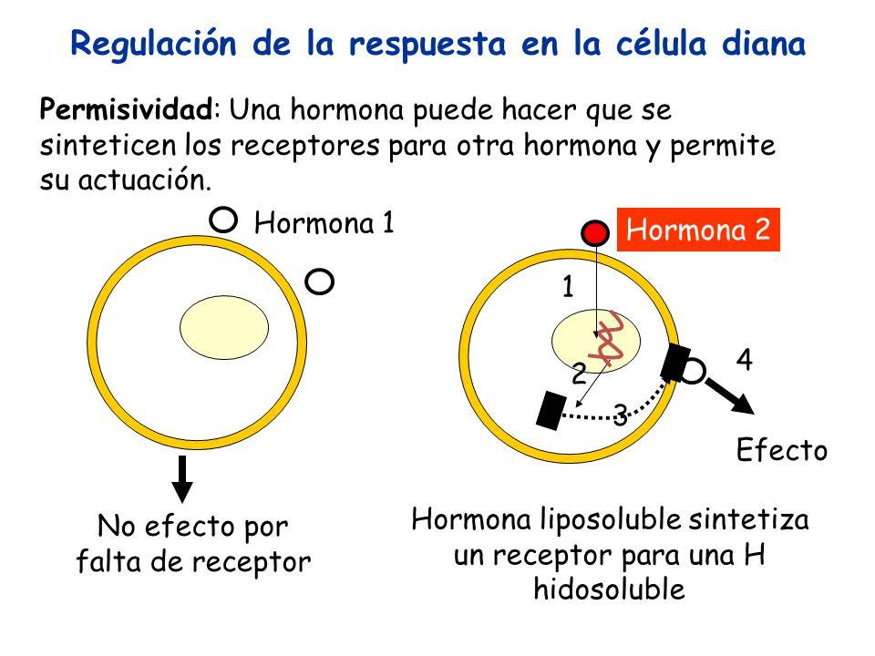 Permisividad: Una hormona puede hacer que se sinteticen los receptores para otra hormona y permite su actuación. No efecto por falta de receptor Hormo