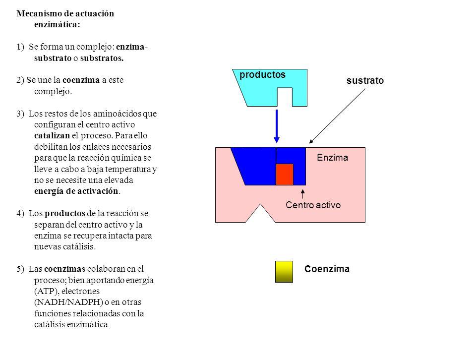 Enzima inactiva sustrato Enzima productos Coenzima Centro activo Mecanismo de actuación enzimática: 1) Se forma un complejo: enzima- substrato o subst