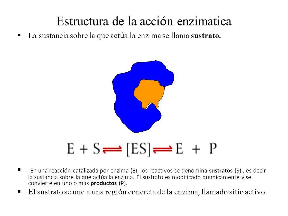 Estructura de la acci ó n enzimatica La sustancia sobre la que act ú a la enzima se llama sustrato. En una reacción catalizada por enzima (E), los rea