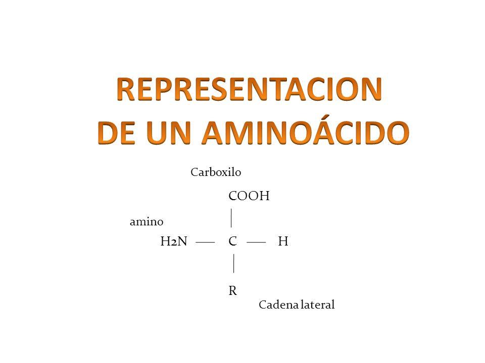 CHH2N COOH R Carboxilo amino Cadena lateral