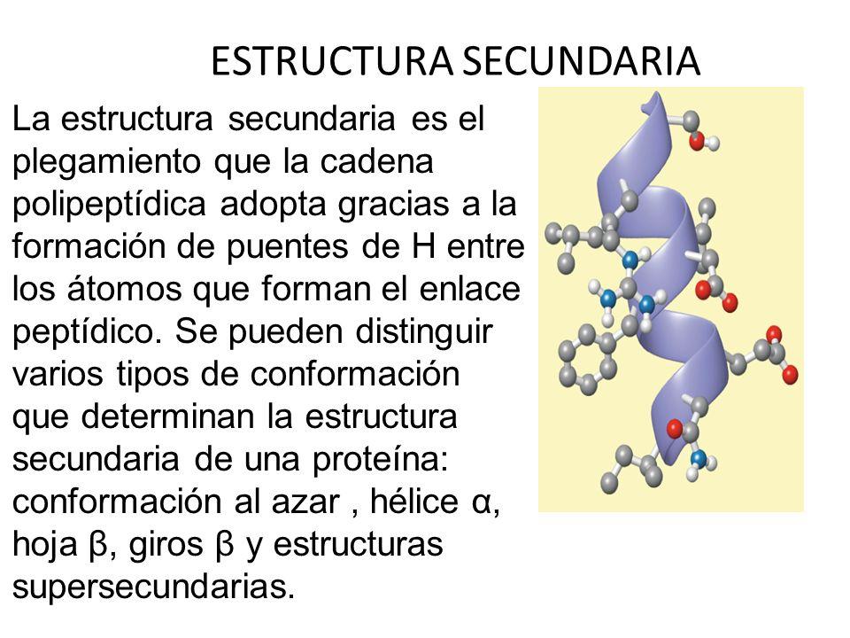 ESTRUCTURA SECUNDARIA La estructura secundaria es el plegamiento que la cadena polipeptídica adopta gracias a la formación de puentes de H entre los á