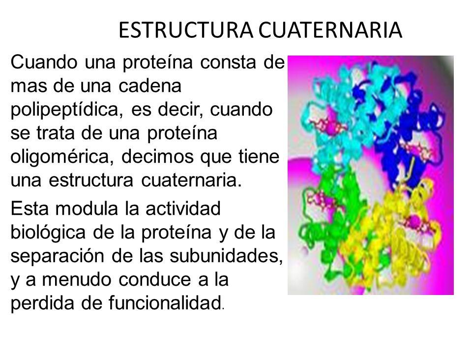 ESTRUCTURA CUATERNARIA Cuando una proteína consta de mas de una cadena polipeptídica, es decir, cuando se trata de una proteína oligomérica, decimos q