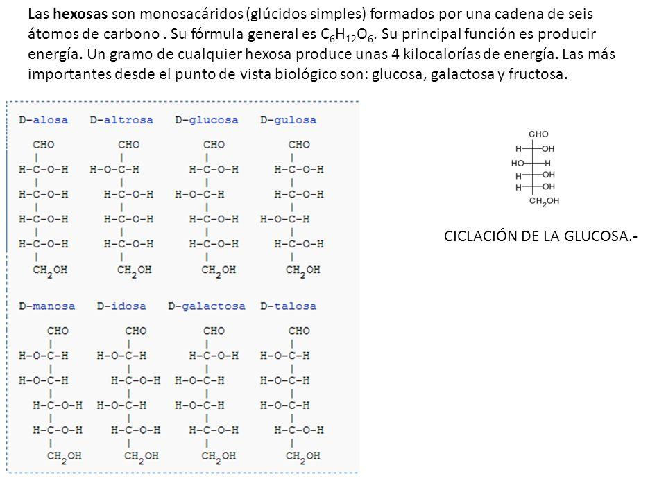 CICLACIÓN DE LA GLUCOSA.- Las hexosas son monosacáridos (glúcidos simples) formados por una cadena de seis átomos de carbono. Su fórmula general es C
