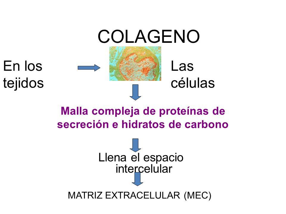 COLAGENO Llena el espacio intercelular En los tejidos Las células Malla compleja de proteínas de secreción e hidratos de carbono MATRIZ EXTRACELULAR (