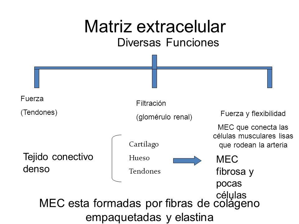 Matriz extracelular Diversas Funciones Fuerza (Tendones) Fuerza y flexibilidad MEC que conecta las células musculares lisas que rodean la arteria Filt