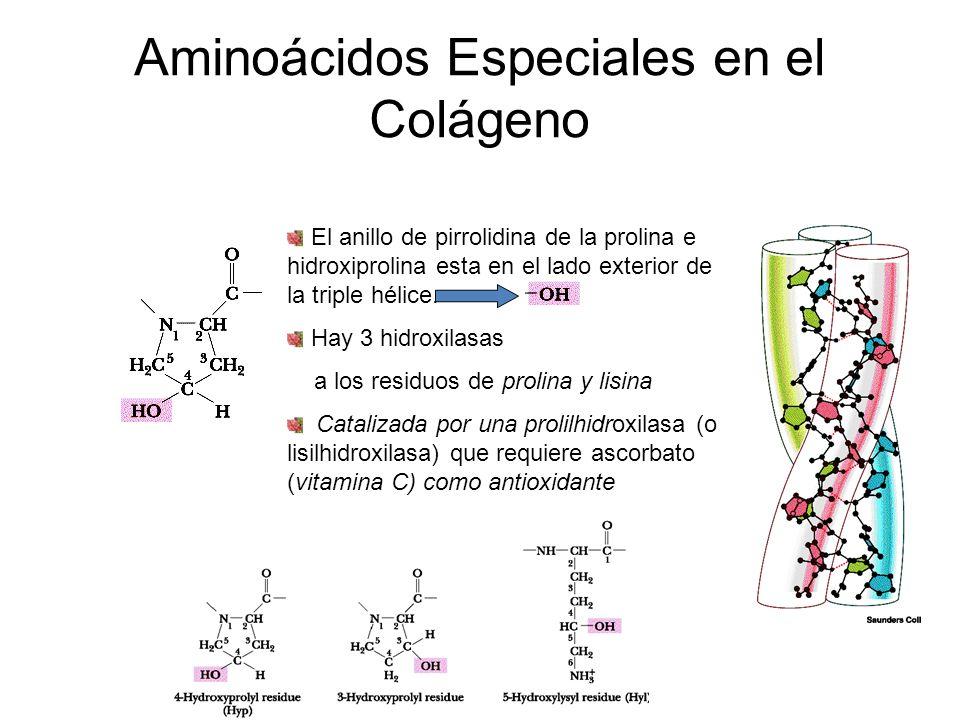 Aminoácidos Especiales en el Colágeno El anillo de pirrolidina de la prolina e hidroxiprolina esta en el lado exterior de la triple hélice. Hay 3 hidr