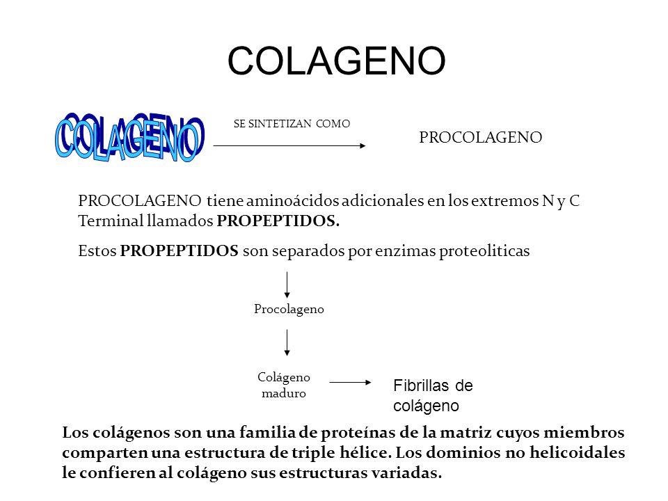 COLAGENO SE SINTETIZAN COMO PROCOLAGENO PROCOLAGENO tiene aminoácidos adicionales en los extremos N y C Terminal llamados PROPEPTIDOS. Estos PROPEPTID