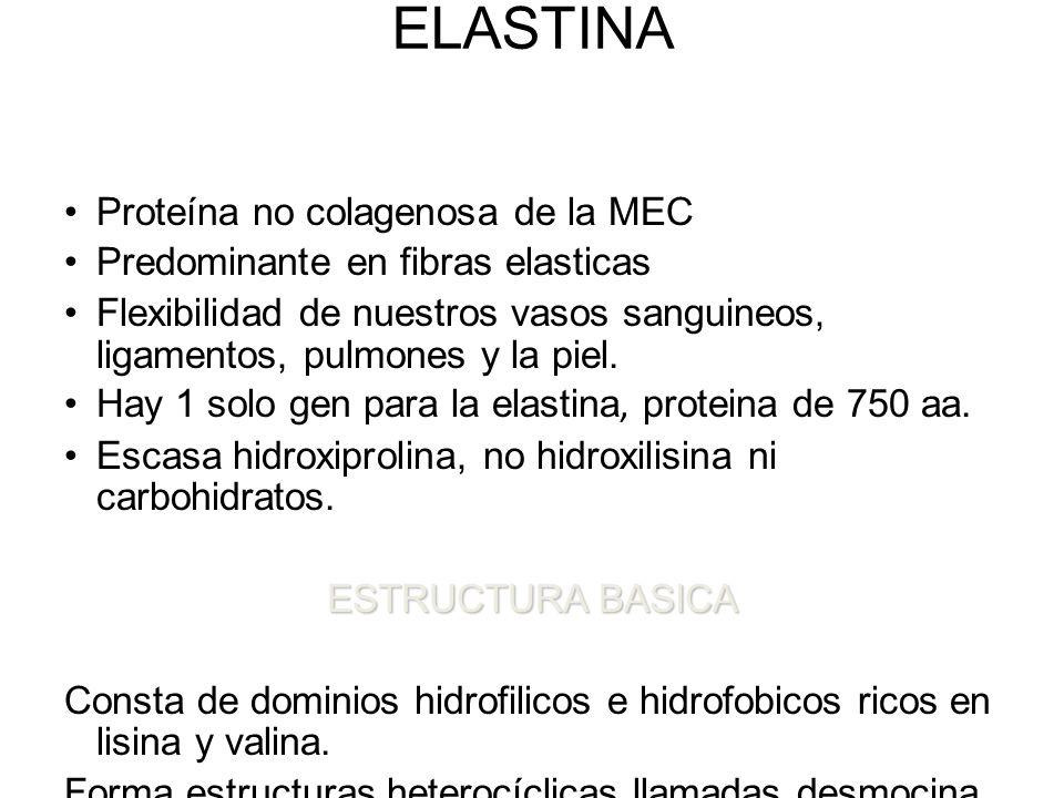 ELASTINA Proteína no colagenosa de la MEC Predominante en fibras elasticas Flexibilidad de nuestros vasos sanguineos, ligamentos, pulmones y la piel.