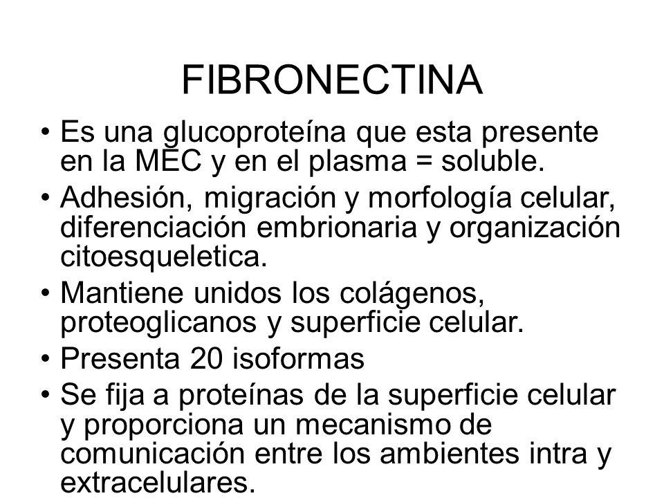 FIBRONECTINA Es una glucoproteína que esta presente en la MEC y en el plasma = soluble. Adhesión, migración y morfología celular, diferenciación embri