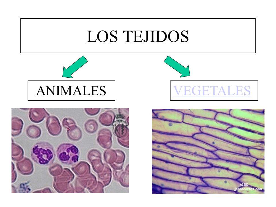 TEJIDOS ANIMALES EPITELIALES CONECTIVOS MUSCULARES NERVIOSO Sin espacios intercelulares Con abundante sustancia intercelular Especializados en la contracción Especializados en la transmisión de impulsos.