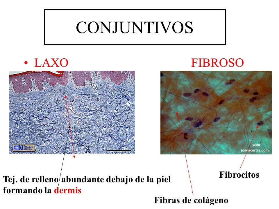 CONJUNTIVOS LAXOFIBROSO Tej. de relleno abundante debajo de la piel formando la dermis Fibras de colágeno Fibrocitos