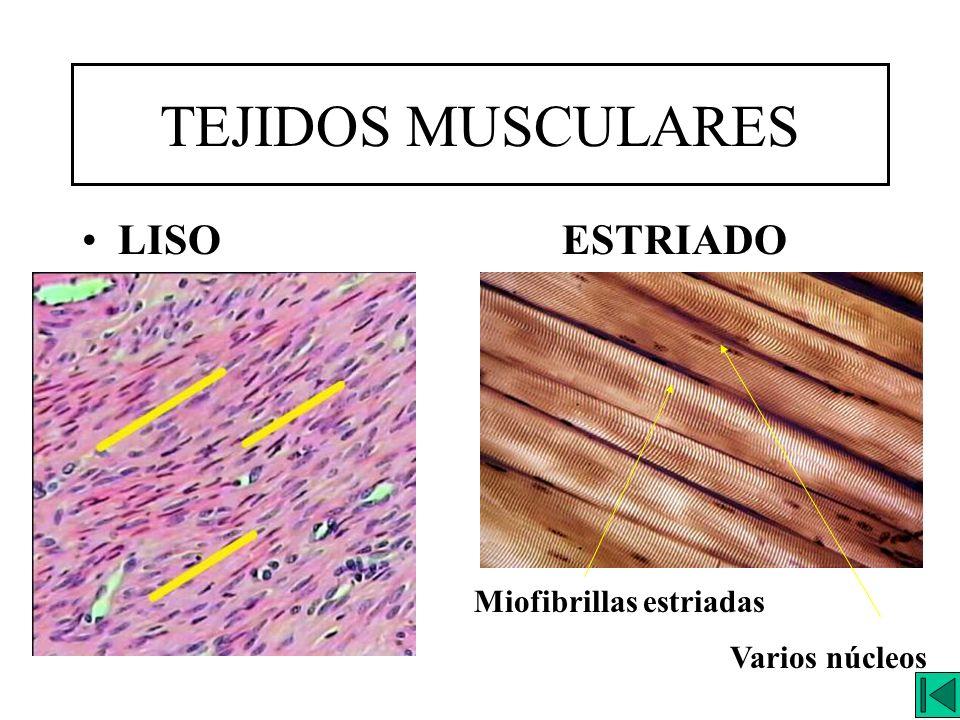 TEJIDOS MUSCULARES LISOESTRIADO Varios núcleos Miofibrillas estriadas
