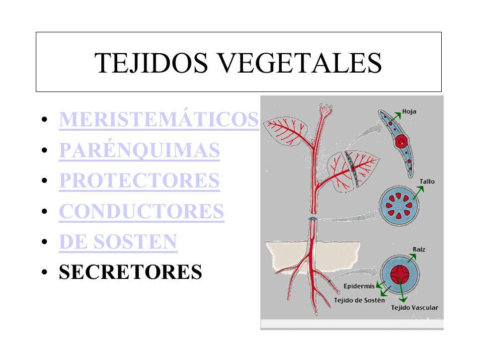 TEJIDOS VEGETALES MERISTEMÁTICOS PARÉNQUIMAS PROTECTORES CONDUCTORES DE SOSTEN SECRETORES