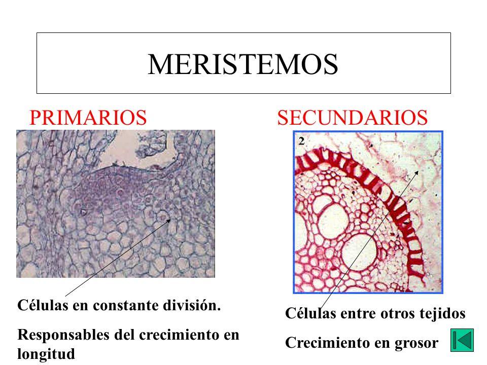 MERISTEMOS PRIMARIOSSECUNDARIOS Células en constante división. Responsables del crecimiento en longitud Células entre otros tejidos Crecimiento en gro