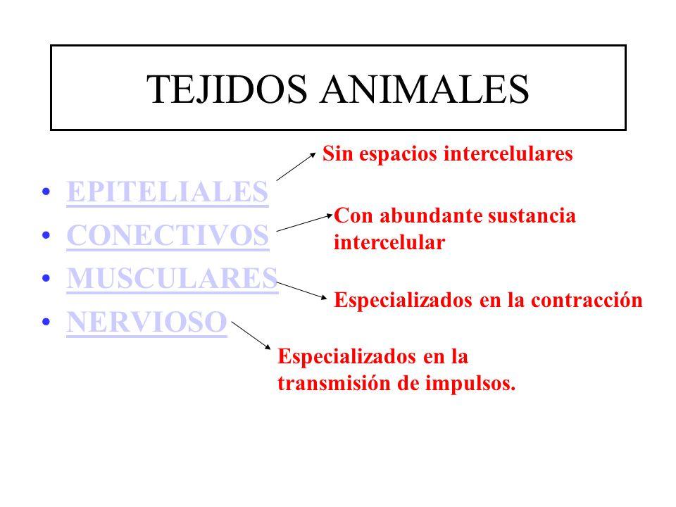 TEJIDOS ANIMALES EPITELIALES CONECTIVOS MUSCULARES NERVIOSO Sin espacios intercelulares Con abundante sustancia intercelular Especializados en la cont