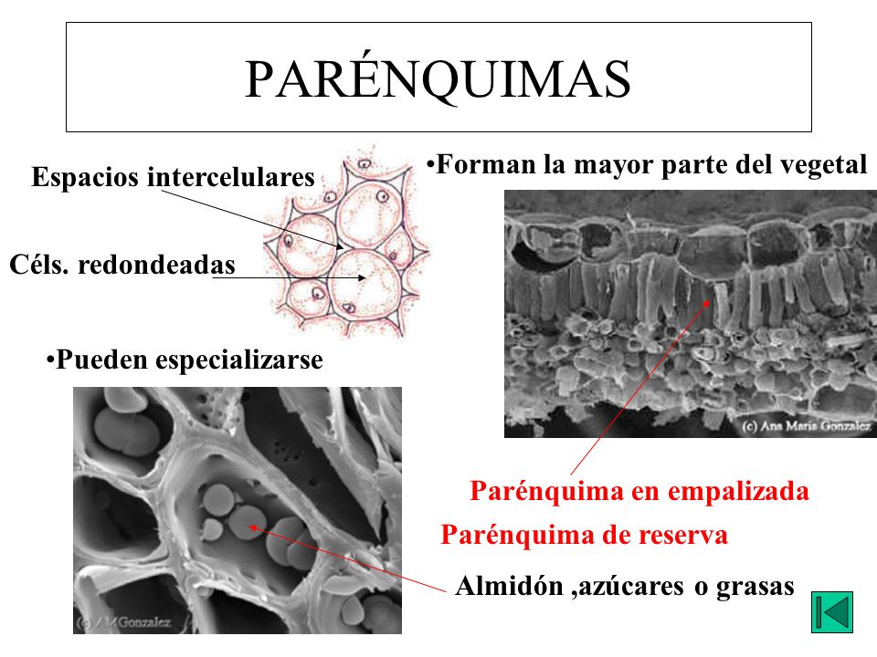 PARÉNQUIMAS Céls. redondeadas Espacios intercelulares Forman la mayor parte del vegetal Pueden especializarse Parénquima en empalizada Parénquima de r