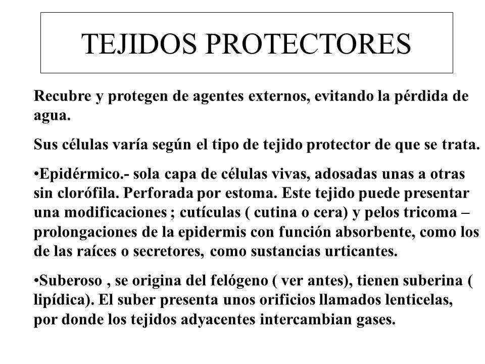 TEJIDOS PROTECTORES Recubre y protegen de agentes externos, evitando la pérdida de agua. Sus células varía según el tipo de tejido protector de que se