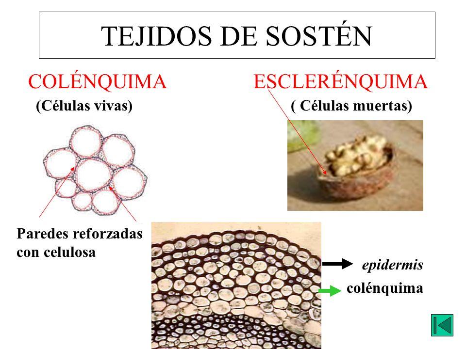TEJIDOS DE SOSTÉN ESCLERÉNQUIMACOLÉNQUIMA ( Células muertas)(Células vivas) Paredes reforzadas con celulosa colénquima epidermis