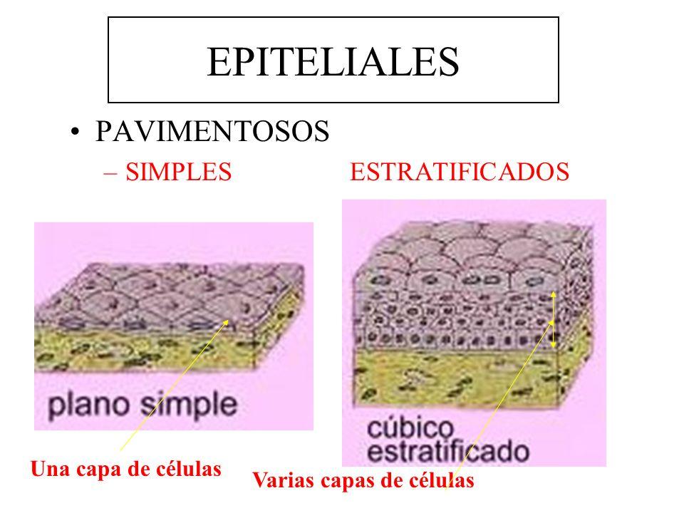 EPITELIALES PAVIMENTOSOS –SIMPLES ESTRATIFICADOS Una capa de células (ENDOTELIO) Queratina Epidermis Dermis (Tej.