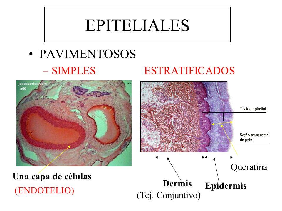 EPITELIALES PAVIMENTOSOS –SIMPLES ESTRATIFICADOS Una capa de células (ENDOTELIO) Queratina Epidermis Dermis (Tej. Conjuntivo)
