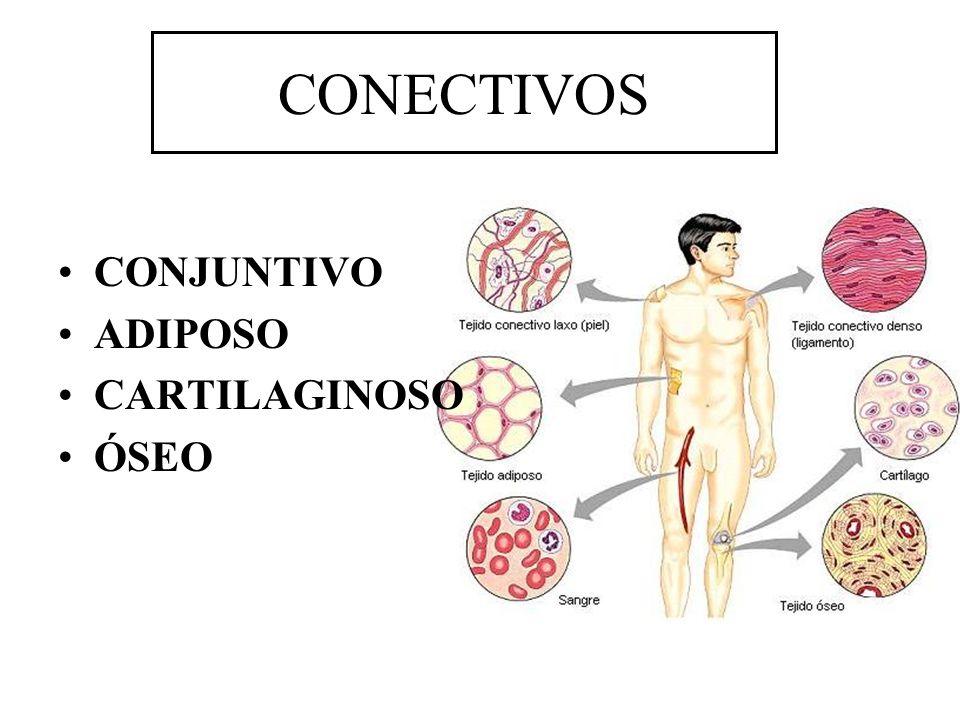 CONJUNTIVO ADIPOSO CARTILAGINOSO ÓSEO CONECTIVOS