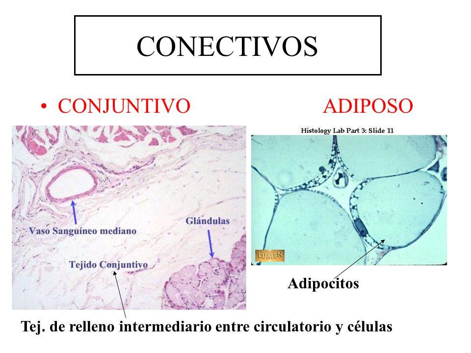 CONJUNTIVO ADIPOSO Adipocitos Tej. de relleno intermediario entre circulatorio y células