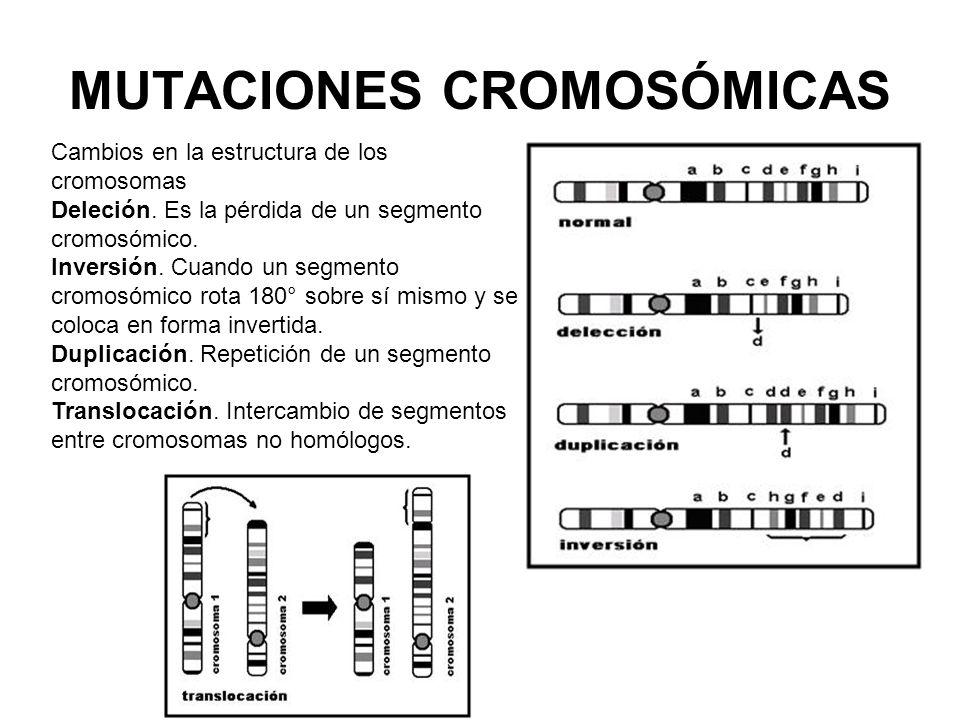 MUTACIONES CROMOSÓMICAS Cambios en la estructura de los cromosomas Deleción. Es la pérdida de un segmento cromosómico. Inversión. Cuando un segmento c