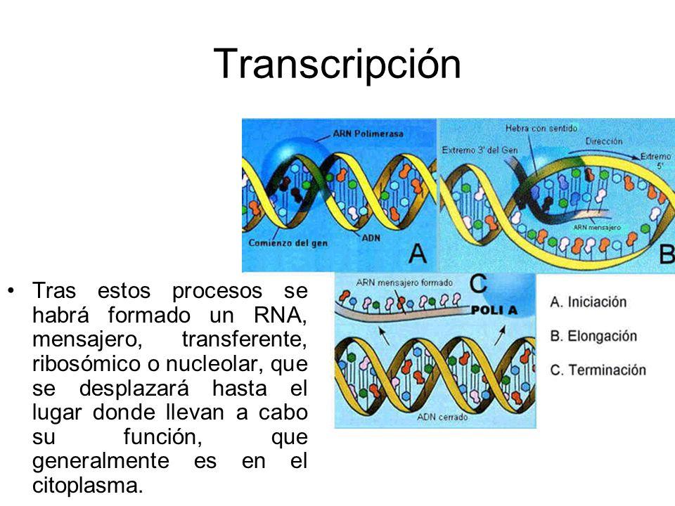 Transcripción Tras estos procesos se habrá formado un RNA, mensajero, transferente, ribosómico o nucleolar, que se desplazará hasta el lugar donde lle