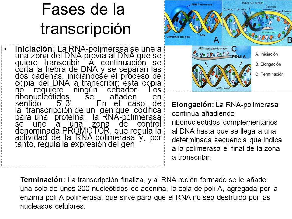 Fases de la transcripción Iniciación: La RNA-polimerasa se une a una zona del DNA previa al DNA que se quiere transcribir. A continuación se corta la