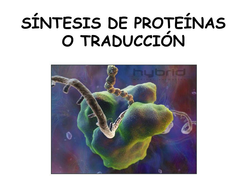 SÍNTESIS DE PROTEÍNAS O TRADUCCIÓN