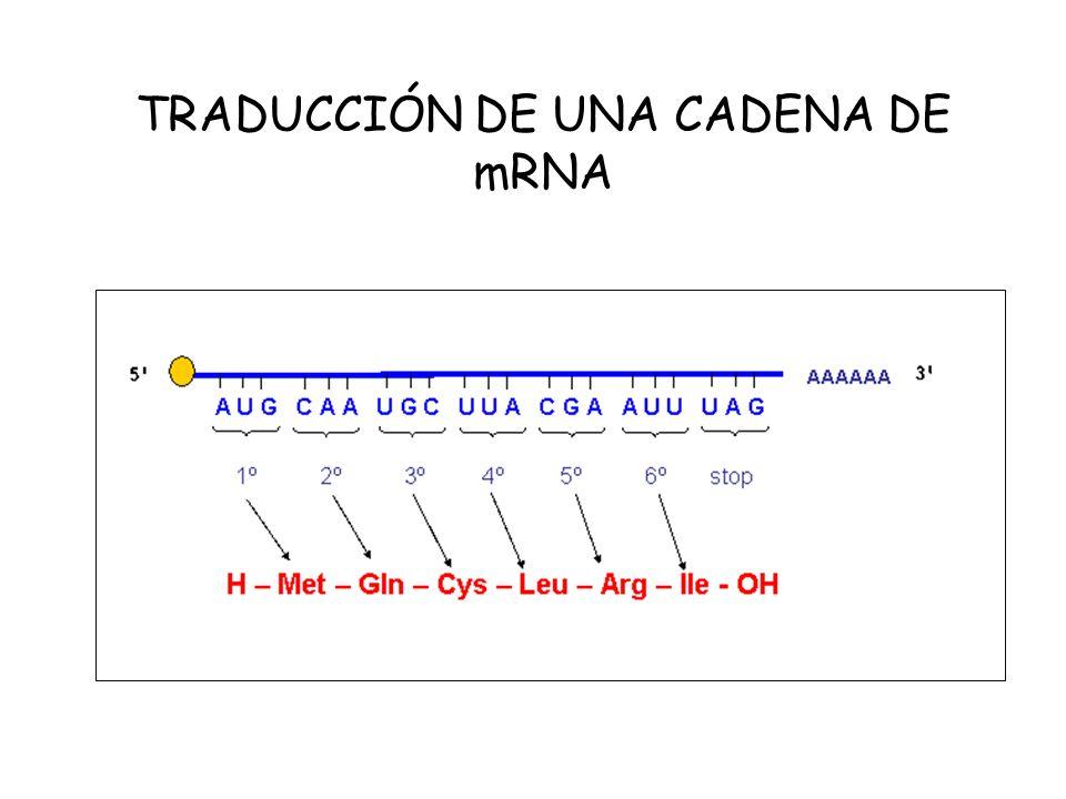 TRADUCCIÓN DE UNA CADENA DE mRNA
