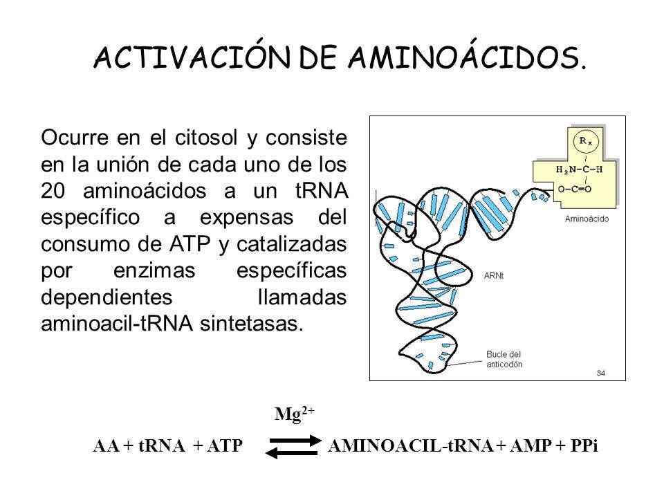 ACTIVACIÓN DE AMINOÁCIDOS. Ocurre en el citosol y consiste en la unión de cada uno de los 20 aminoácidos a un tRNA específico a expensas del consumo d