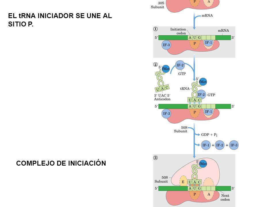 EL tRNA INICIADOR SE UNE AL SITIO P. COMPLEJO DE INICIACIÓN