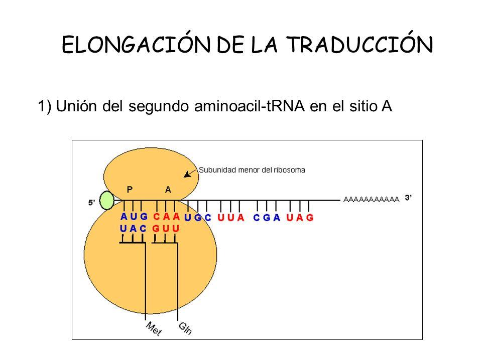 ELONGACIÓN DE LA TRADUCCIÓN 1) Unión del segundo aminoacil-tRNA en el sitio A