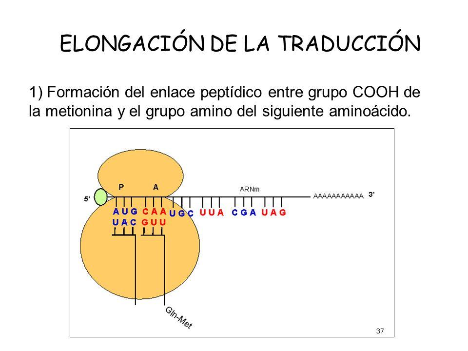 ELONGACIÓN DE LA TRADUCCIÓN 1) Formación del enlace peptídico entre grupo COOH de la metionina y el grupo amino del siguiente aminoácido.